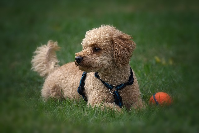 Poodle hypoallergenic dogs