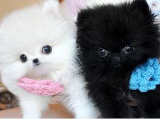Male and Female Pomeranian Pups*