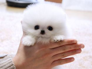 Cute Snow White Teacup Pomeranian Puppies