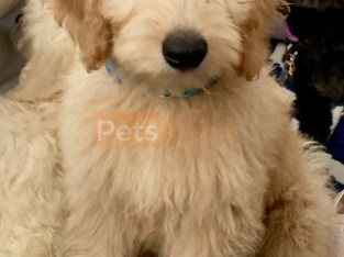 Goldendoodle puppy's for sale