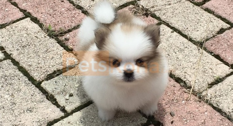 Quality Tiny Pomeranian Puppies For Sale