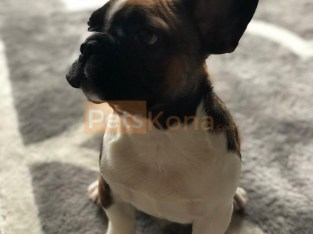 4 month old french bulldog