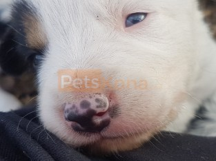 Border colie puppies