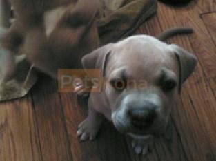 Male American Bull Dog/ Pitbull mix 7 weeks old