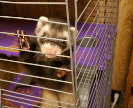 2, 1 year old, Ferrets (male)