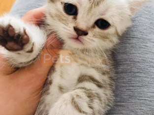 Scottish fold girls