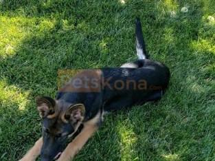 German Shepherd puppy female Lola