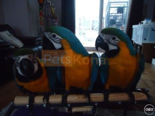 Pair Macaw Parrots Ready For New Homes