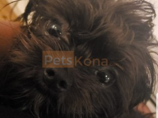 Black Female Shorkie