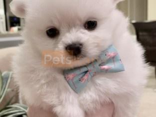 White Pomeranian – off white Pomeranian