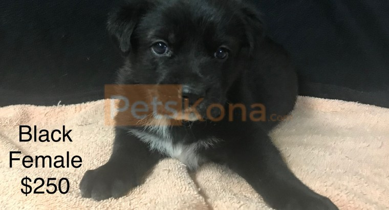 1/2 German Shepherd, 1/2 Labahoula Puppies