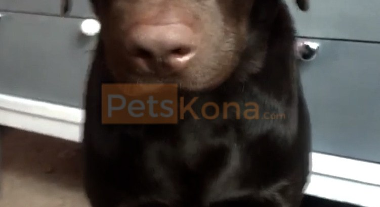 Rehome a chocolate lab
