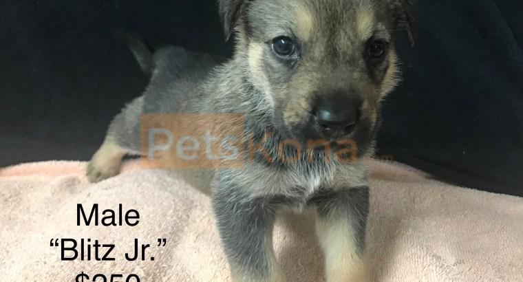 1/2 German Shepherd 1/2 Labahoula Puppies