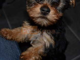 Male And Female Yorkie Pups available for free adoption