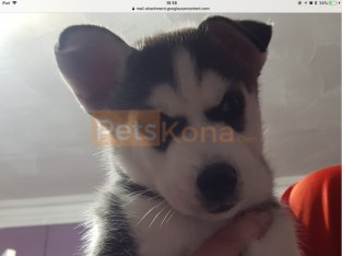 SIBERIAN HUSKY MALE AND FEMALE PUPPIES