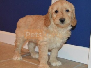 fib goldendoodle puppies ready now
