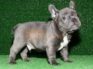 Beautiful Blue French Bulldog puppies Text Us At (503)389-3196 )