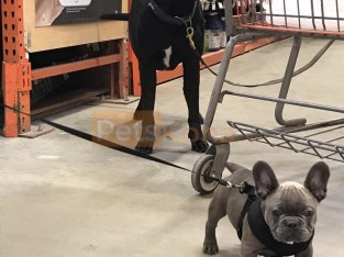 Mini Blue French Bulldog for sale