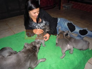 Smart Pure Blue French Bulldog puppies Text Us At (503)389-3196 )