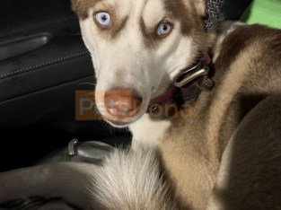 Beautiful Pure Siberian Husky Looking for her Forever Home