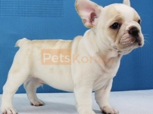 Active males and females french bulldog puppies