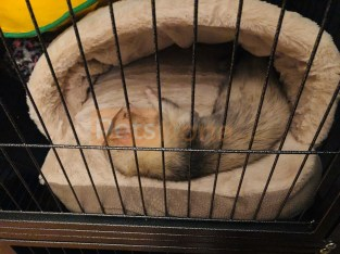 Ferret with cage