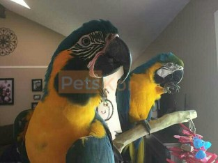 Macaw Talking Blue and Yellow for adoption fee