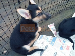 Very Smart, happy German Shepard/Husky mix puppy/s need a loving home.