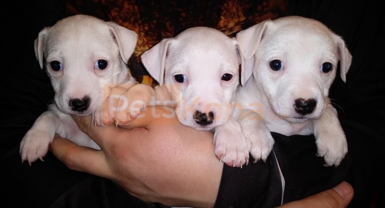 Jack Russell Puppies Rehoming