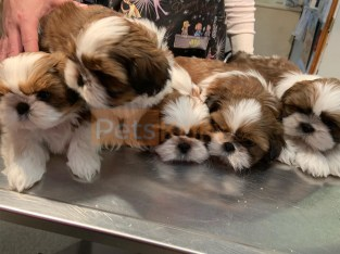 Litter of males and females Shih Tzu puppies for sale