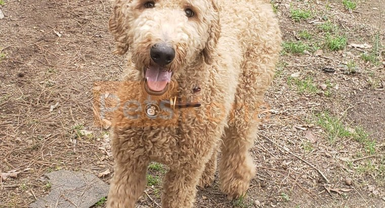 Goldendoodle for sale in Monroe, Georgia