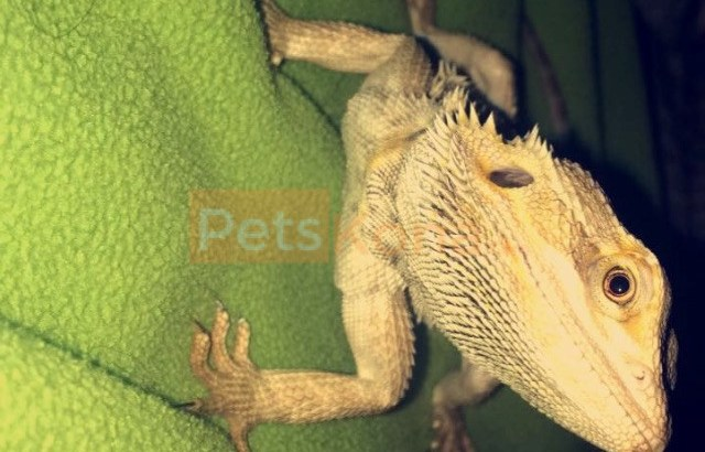 Two male bearded dragons