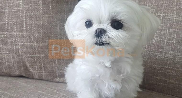 Eskimo puppy for sale