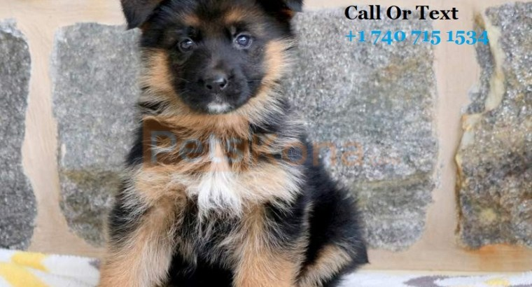 Adorable German Shepherd Puppies Available For Adoption