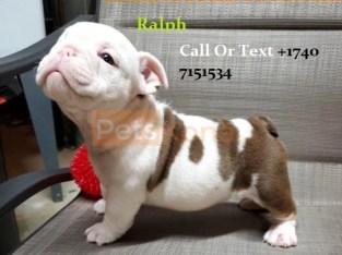 Pure Breed English Bulldog Puppies