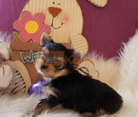 lovely yorkie puppies