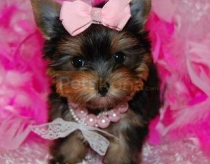 2 Friendly Yorkie Puppies Available TEXT (320) 287-8134
