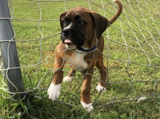 American Boxer for SALE!!