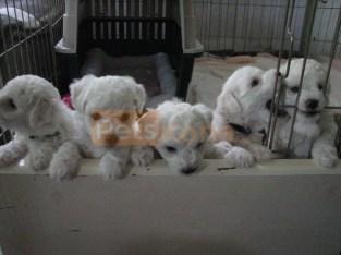 Male / Female Bichon Frise puppies for sale