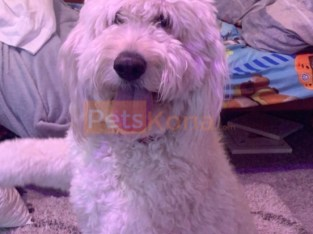 White labradoodle Female 3 yo