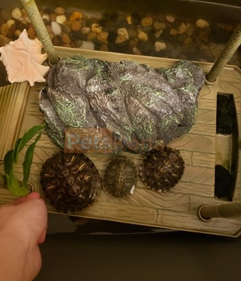 3 Red-Eared Slider Turtles + All Supplies Needed