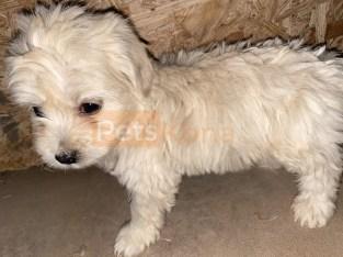 9 Week Old Toy Poodle (9 weeks)