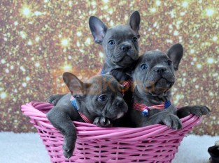 Genuine Pure Blue French Bulldog puppies Text Us At (217) 471-7677