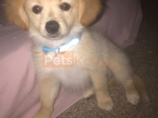 Puppy for sale Pomeranian mixed with chihuahua