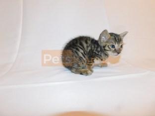 Beautiful Bengal Kittens!