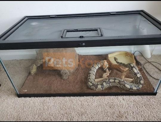**Female Ball Python (4 1/2ft)**