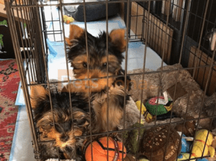 Male & Female Yorkie Puppies Available contact @(469) 607-6609