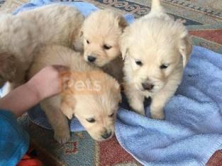 AKC Reg Golden Retriever Puppies Contact@ (469) 607-6609