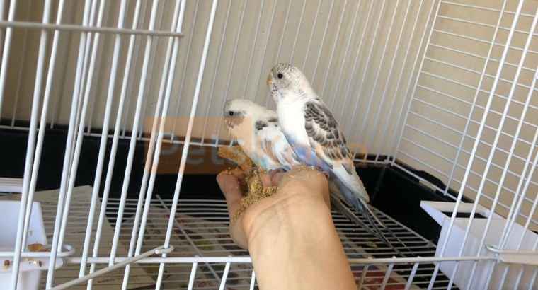 Two parakeets with cage and bird seeds and everything