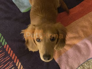 Female Longhaired Miniature Dachshund
